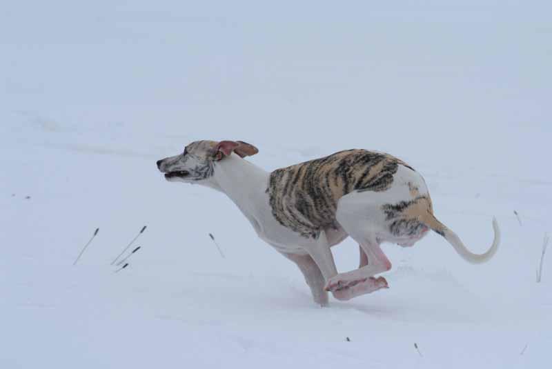 Greta beim Galopp im tiefen Schnee