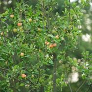 Äpfel klein